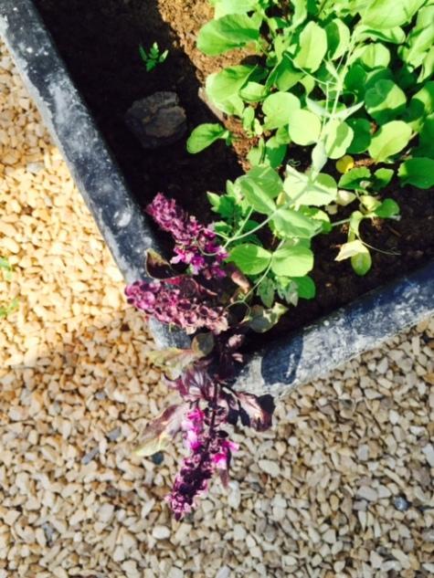flowering purple basil
